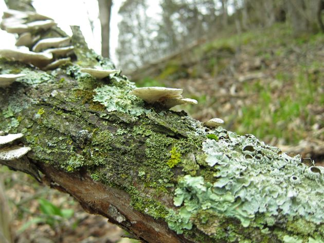 shelf mushrooms and lichen