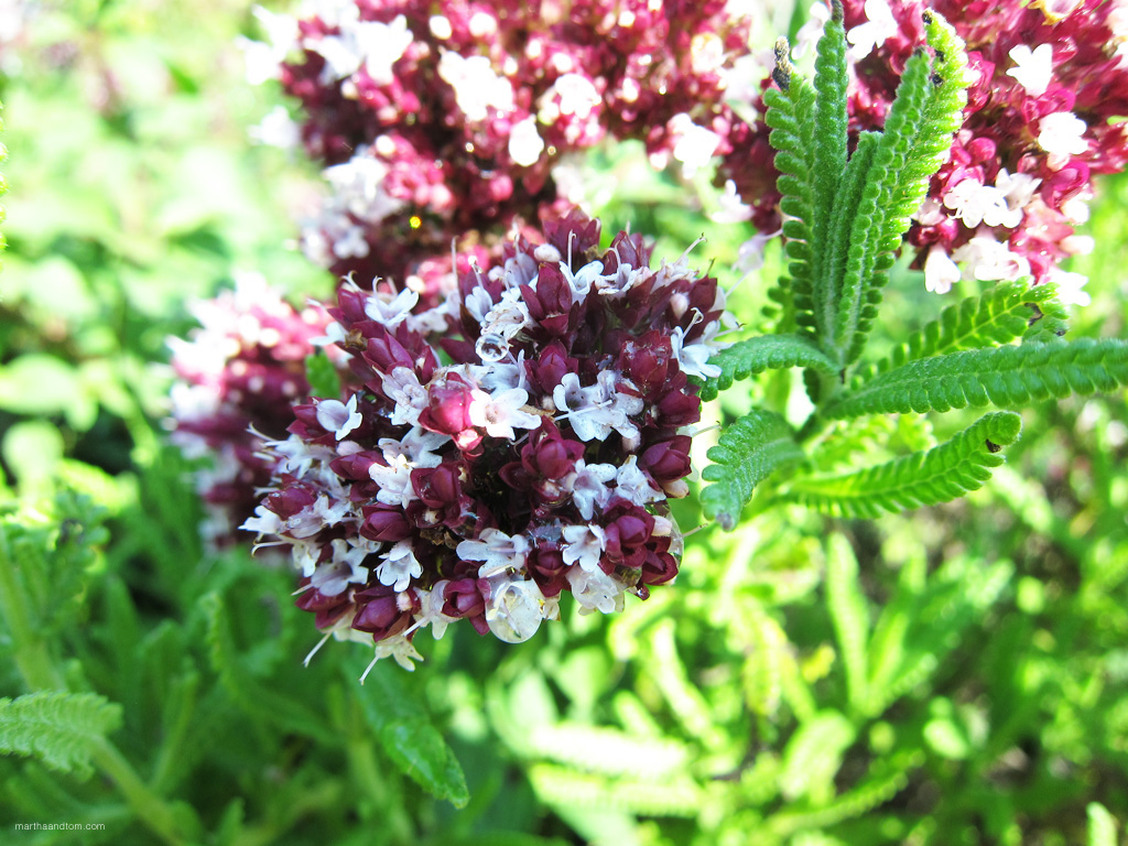 Zorba Red Oregano