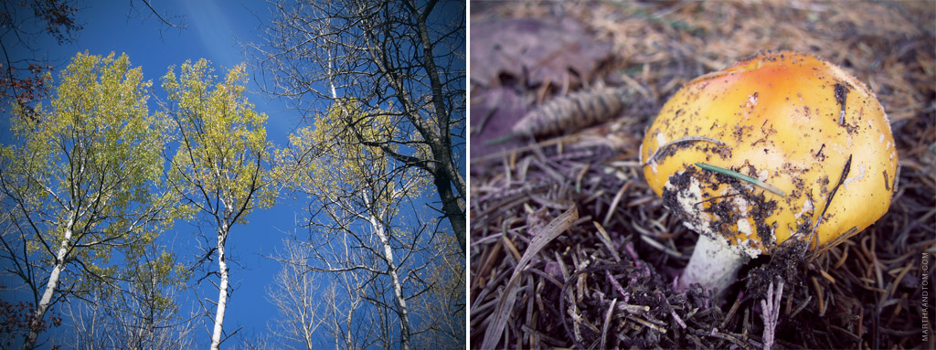 under birches in fall (left) and a wild mushroom in the Michigan woods (right)