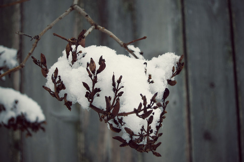 a clump of snow held up by a delicate branch in winter