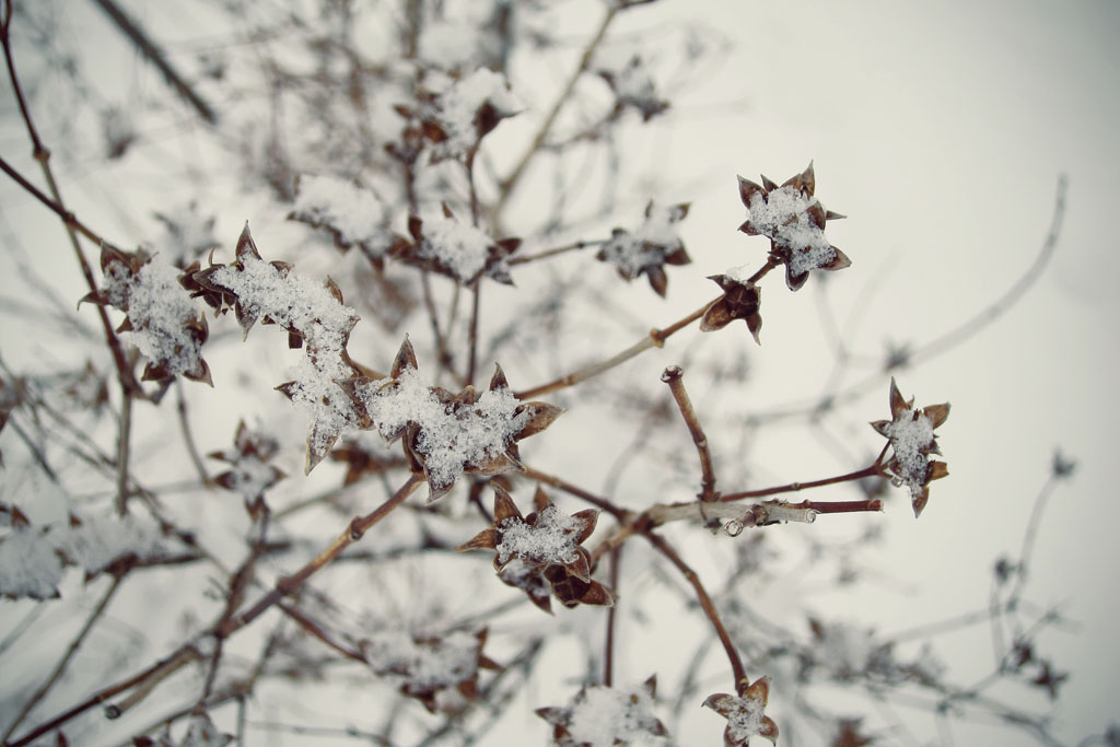 dry branches dusted in snow in winter