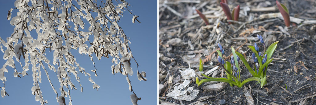 an image of a snowy tree branch (left) and blooming flowers (right)
