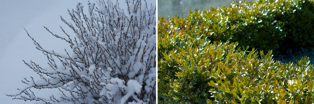 bushes in springtime snow (left) and bushes in spring sunshine (right)