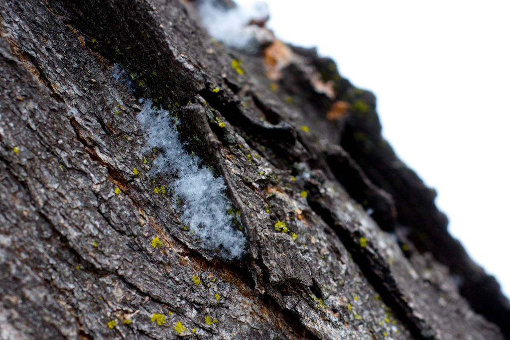 Fresh snow flakes clustered in tree bark