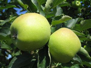 Cranes Apples