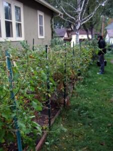 Alan's Tomato Garden