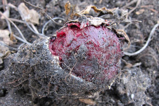 A beet from last year, partially frozen in the soil.