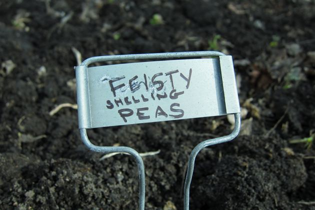 "A garden label reads ""feisty shelling peas"""