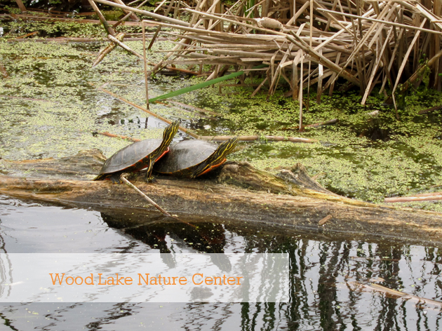 two small turtles on a log