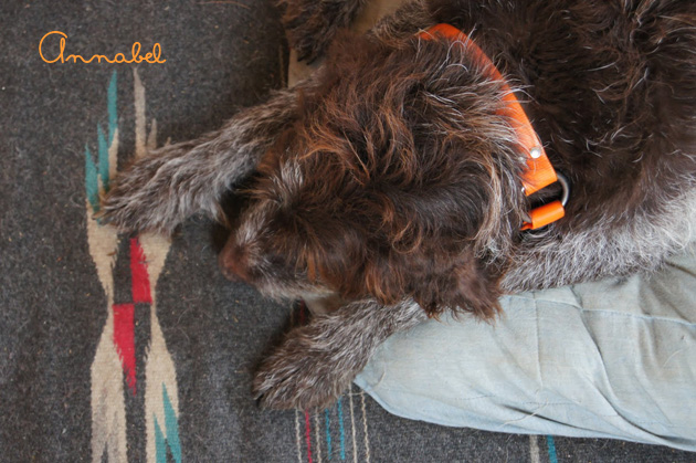 Annabel, a wirehaired griffin