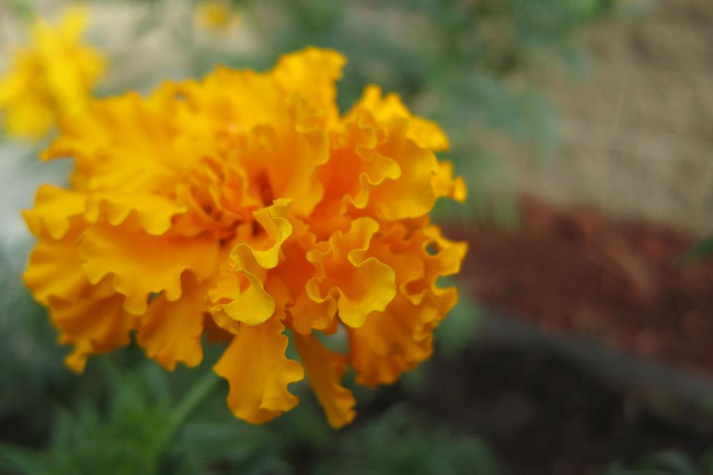 Fall Marigold in Bloom