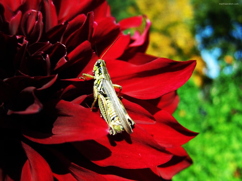 Grasshopper and Dahlia