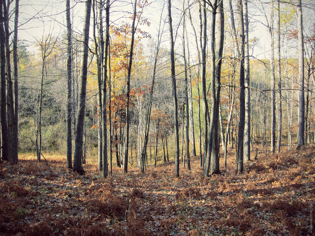 several tall, thin trees in fall without leaves standing in a row in the woods