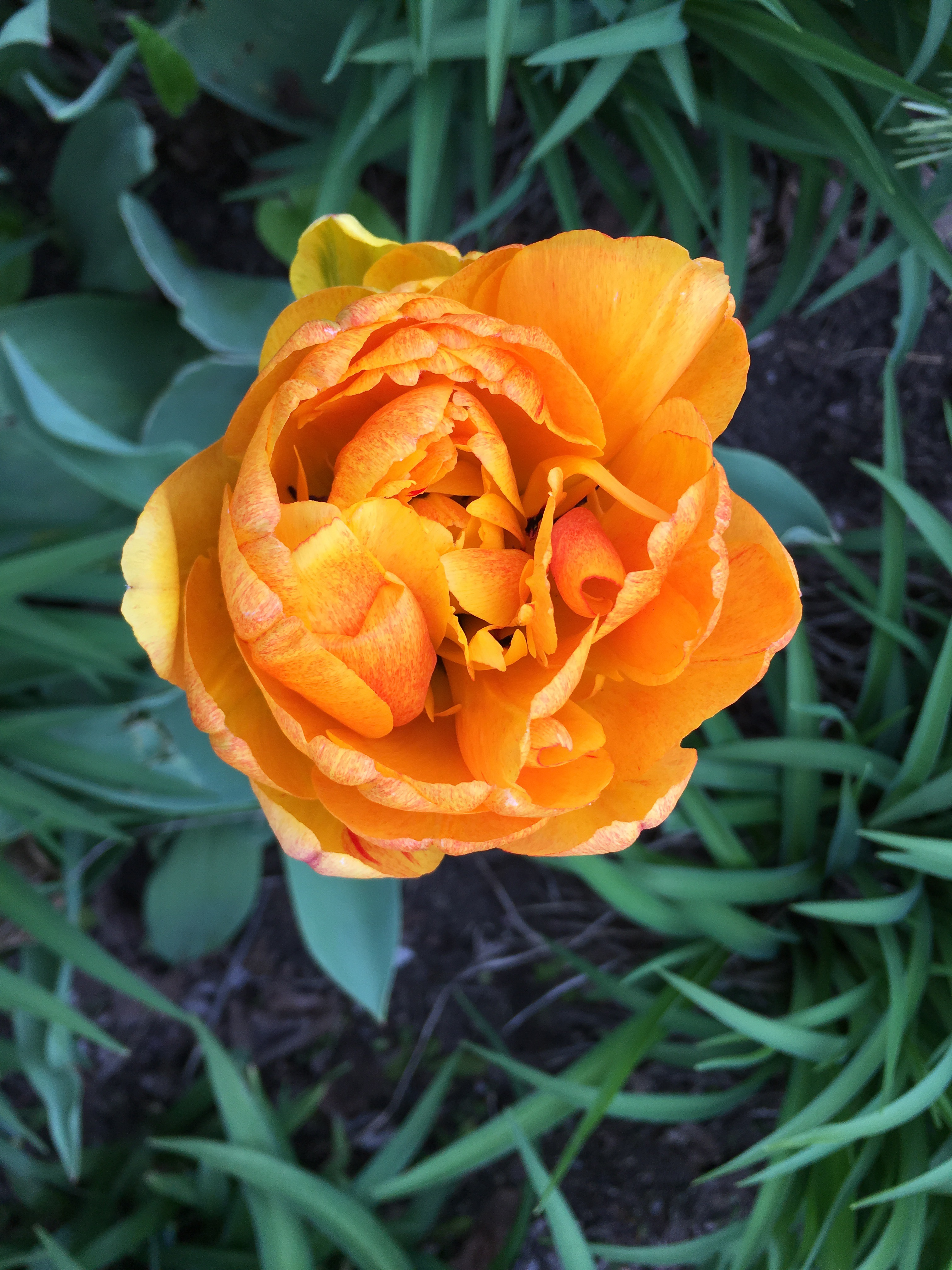 Orange tulip bloom in spring with green background